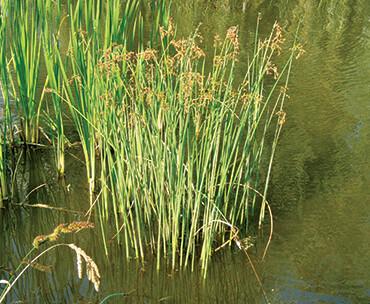 weed-bulrush-1