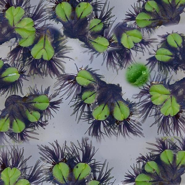 Aquatic-Liverwort-02-Australia