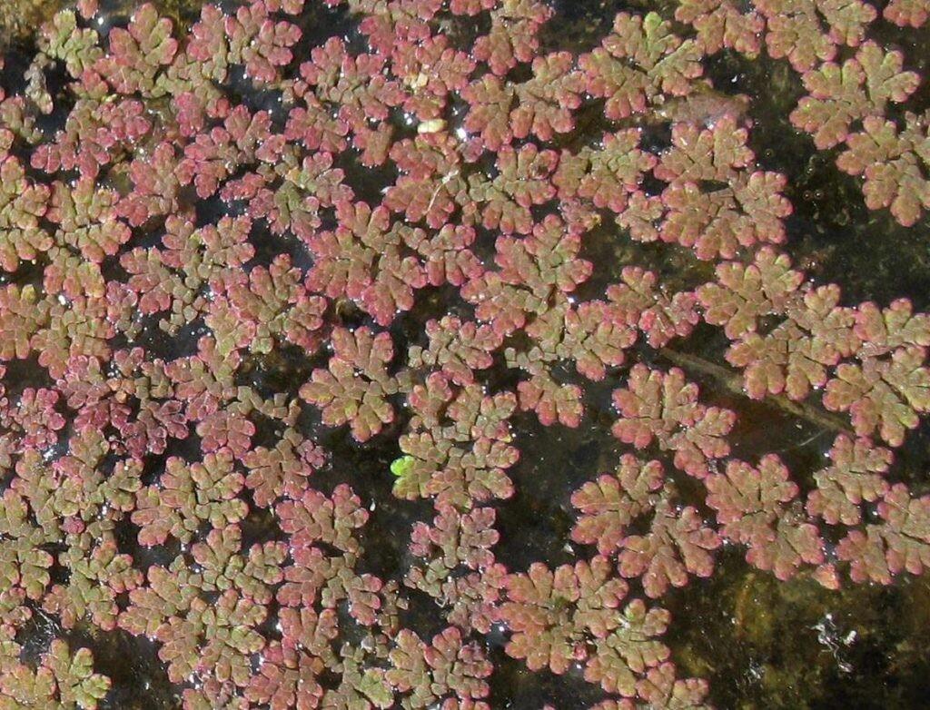 Aquatic-Plant-Azolla-06-Australia