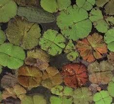 Aquatic-Common-Nardoo-05-Australia