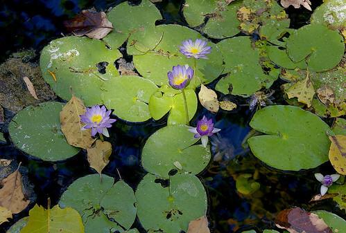 Aquatic-Native-Waterlily-04-Australia