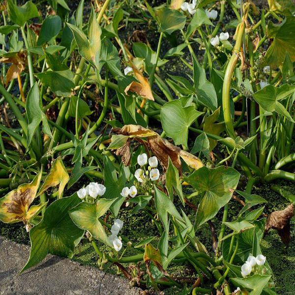Aquatic-Plant-Arrowhead-05-Australia