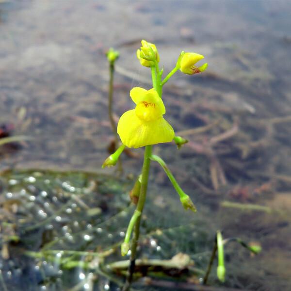 Aquatic Plant-Yellow-Bladderwort-03-Australia