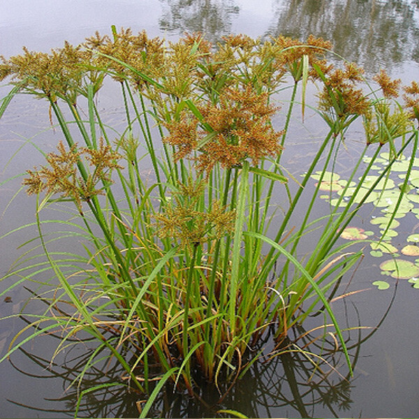 Aquatic-Sedge-04-Australia