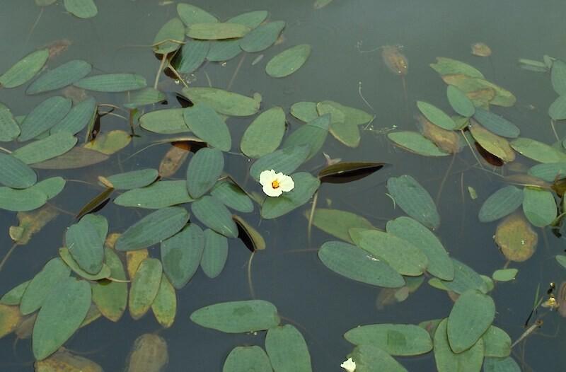 Aquatic-Swamp-Lily-04-Australia