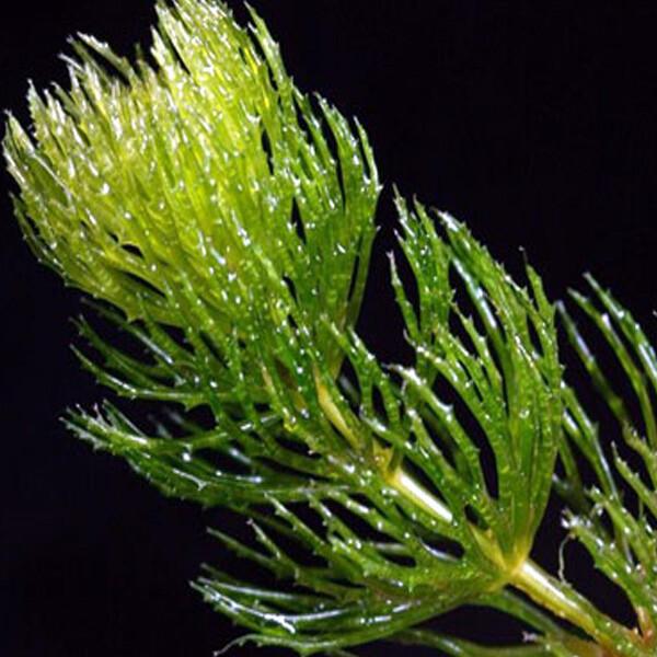 Australian-Hornwort-06-Australia