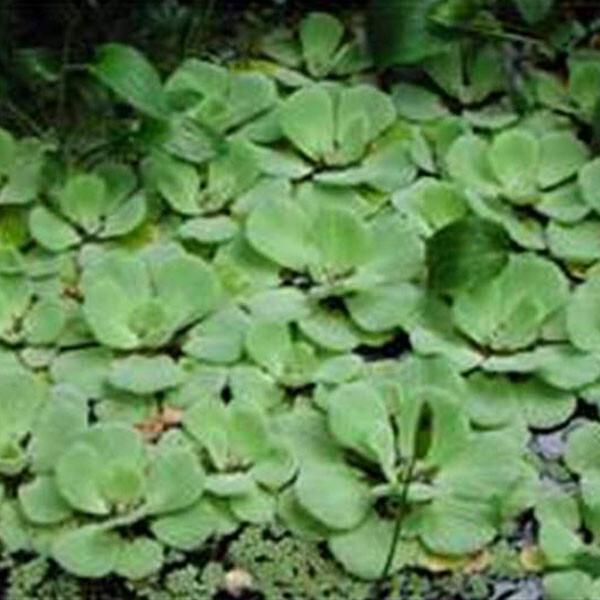 Australian-Water-Lettuce-05-Australia