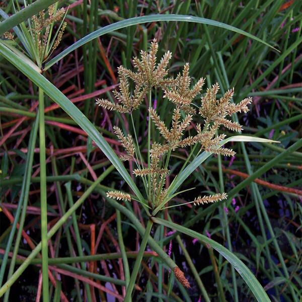 Cyperus-exaltatus-02-Australia