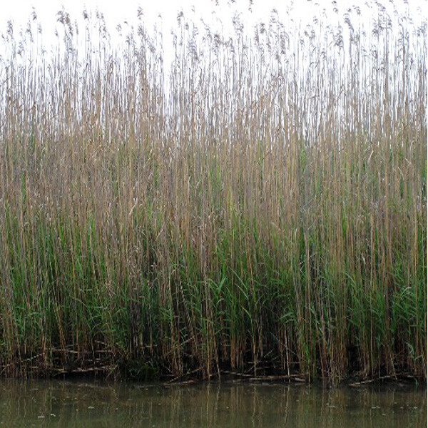 Emergent-Aquatic-Plant-Reed-06-Australia
