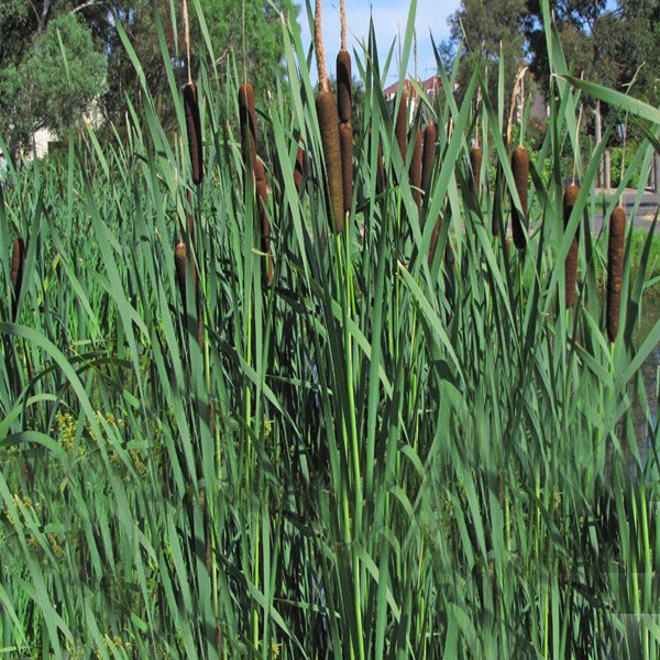 Emergent-Cumbungi-Weed-05-Australia