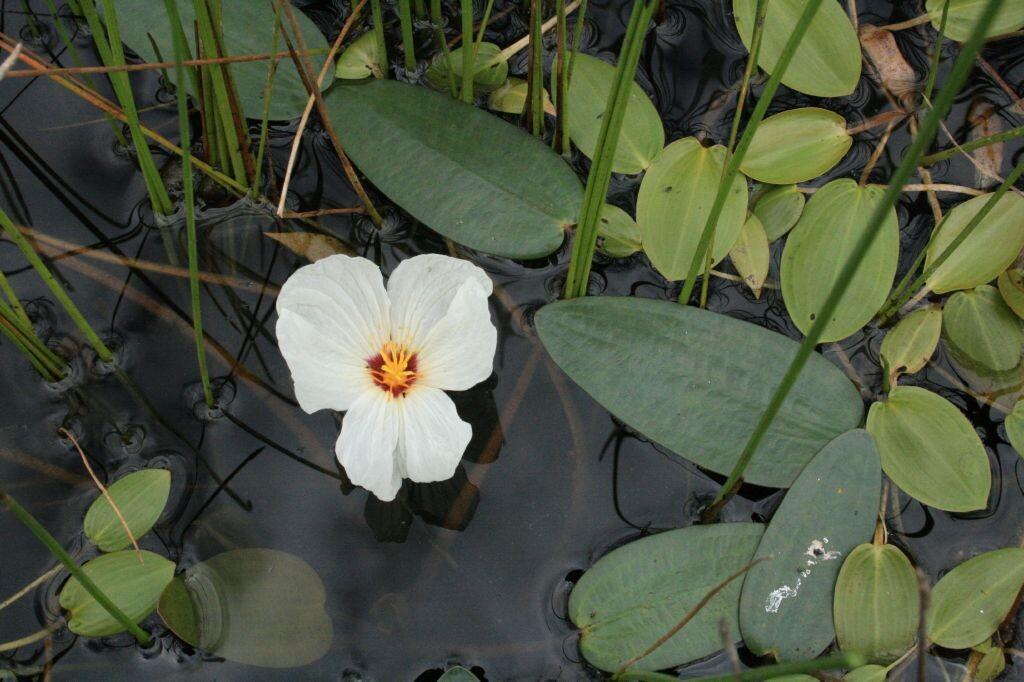 Floating-Pond-Lily-05-Australia