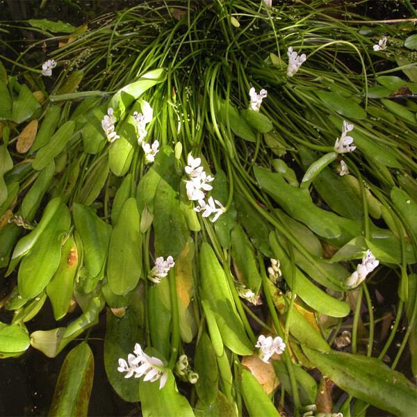 Introduced-Cape-Pond-Lily-02-Australia