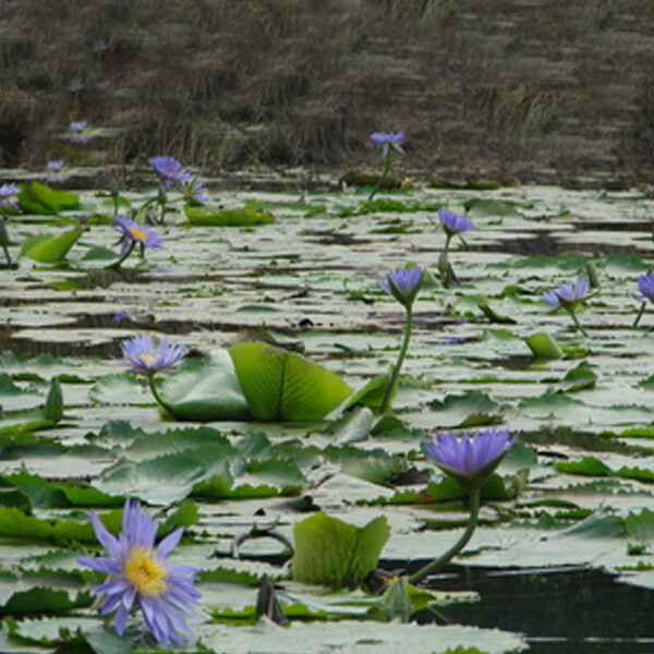 Introduced-Cape-Waterlily-02-Australia