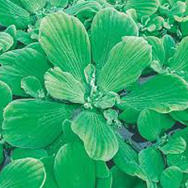 Introduced-Water-Lettuce-04-Australia
