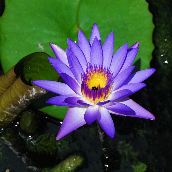 Invasive-Cape-Waterlily-06-Australia