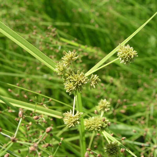 Native-Rice-Sedge-04-Australia