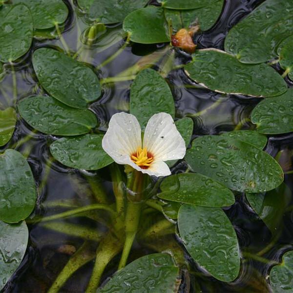 Native-Swamp-Lily-02-Australia