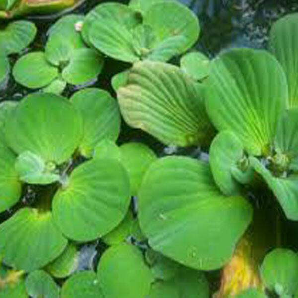 Native-Water-Lettuce-02-Australia