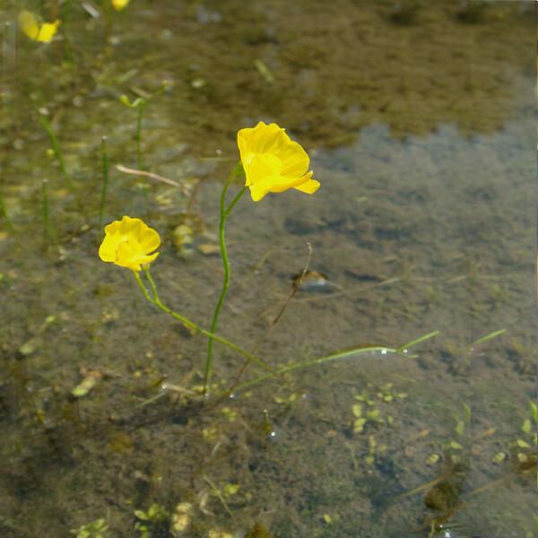Native-Yellow-Bladderwort-02-Australia