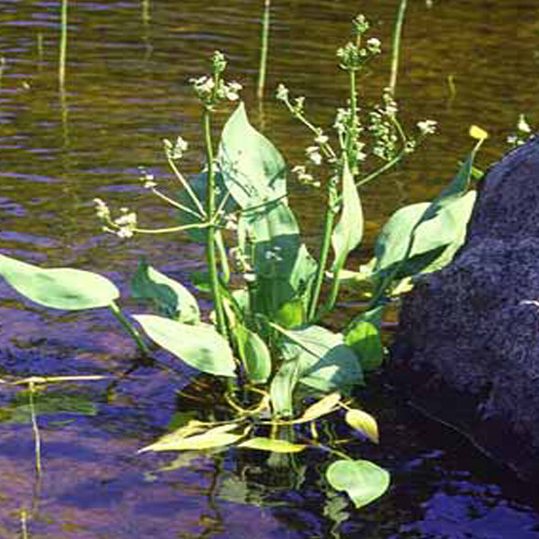 Submerged-Water-Plantain-05-Australia