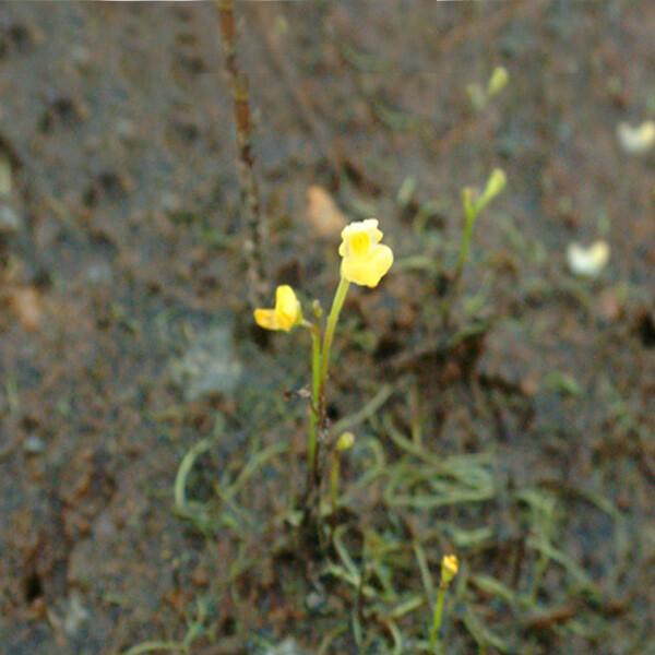 Utricularia-gibba-exoleta-04-Australia