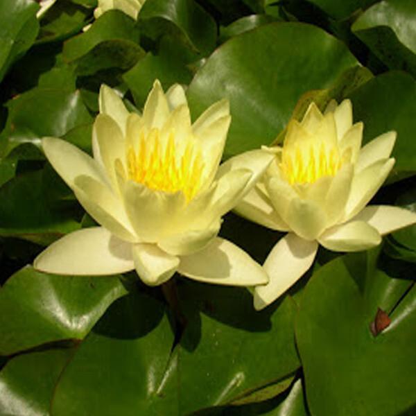 Weed-Yellow-Waterlily-06-Australia