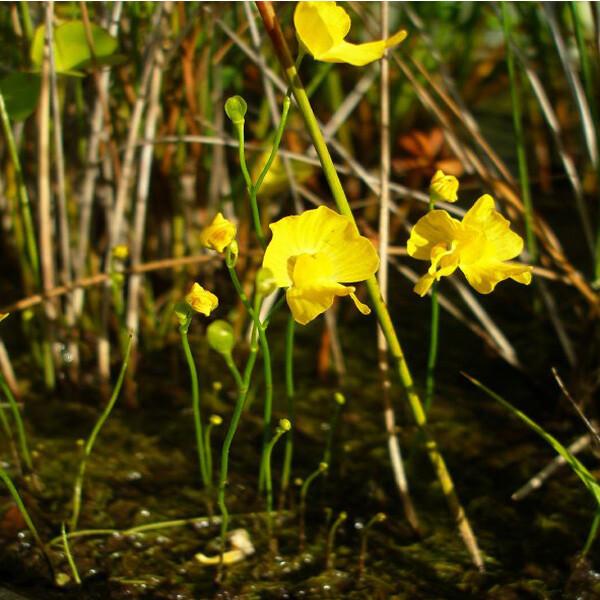 Yellow-Bladderwort-01-Australia