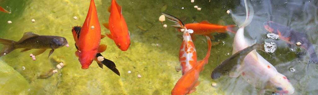 Can Algae Kill Fish?